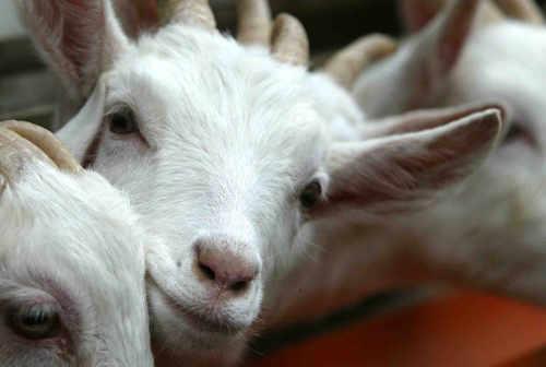 St Tola Goats