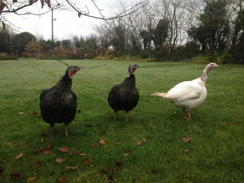 GIY Turkeys
