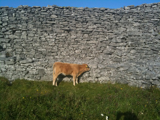 Cow in The Burren
