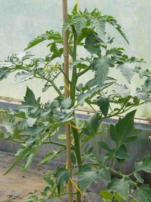 Castlefarm Tomato Plant