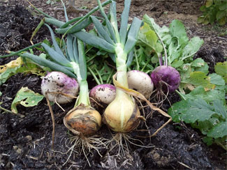 Onions & Turnips
