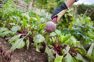 Grow It Yourself - Beetroot