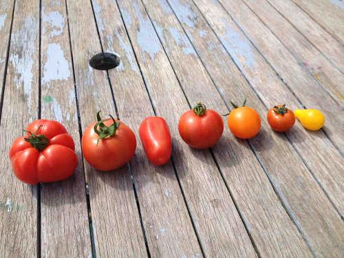 GIY Tomatoes