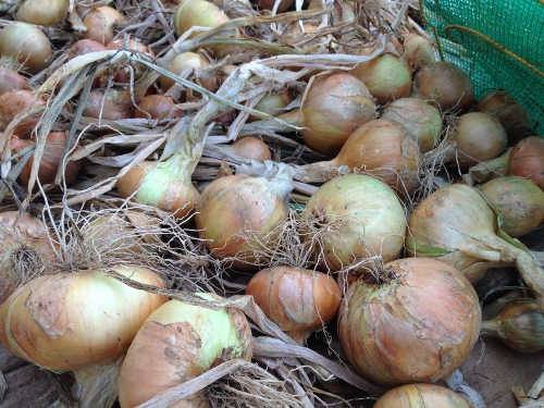 GIY Onions Drying
