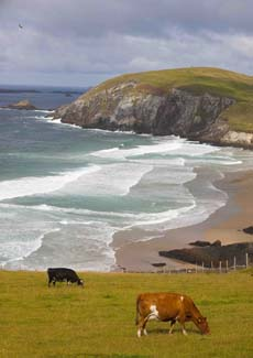 Kerry Cows