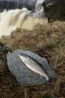 Arctic Charr - Farmed Arctic Charr