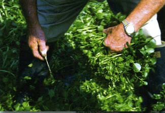 Harvesting Watercress