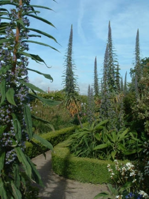 Airfield Gardens - Echiums